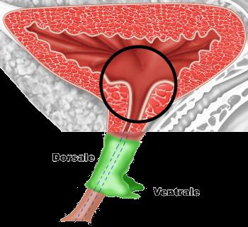 Parte dorsale e ventrale dell'uretra - Fig. 5